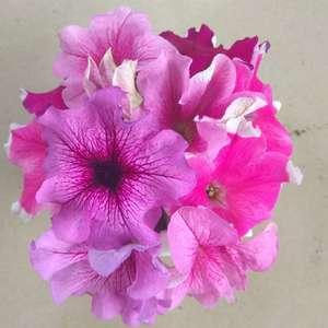 为了制造真正的花球,只好狠心掐花,掐下的放在杯子里,也是一个小花球。爱上矮牵牛,没有理由