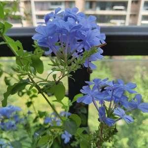天呐   我要种一片蓝雪花墙嘛    真的好有成就感啊    一直在开花   陪我度过夏天嘛要