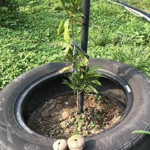 今天上山有件事我百思不解,在幫后大埔石櫟除草時,撿到了一顆石櫟果實,而我買盆栽時老闆有送我一顆果實,我地植時放在一旁 今天找到的這顆果實難道是這小矮個長出來的??我實在太吃驚了,而且這樹直勁不到10公分啊!這樣就會長果實了嗎?還是是小動物咬來的呢?
