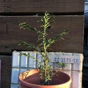 """我新添加了一棵""""030.紅豆杉""""到我的""""花園""""。"""