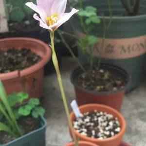 粉葱已经迎来第二朵花,橙葱还是没发动!