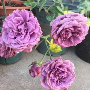 """我新添加了一棵""""月季·紫精灵""""到我的""""花园"""""""