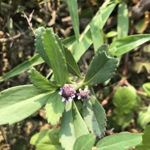 鴨舌癀-種來做為地被植物的,開的小花不甚起眼,但植株似乎全株可藥用,老人家說也可摘嫩葉一起炒蛋,可做婦科保養。