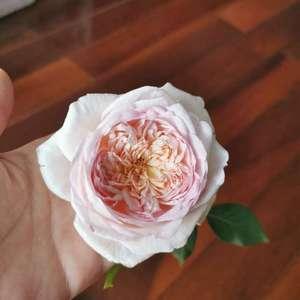 粉黛开了超大一朵,虽然花型不如半包时,但粉里带黄心,还不错