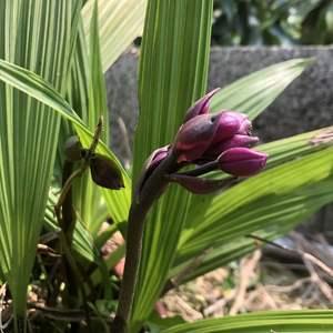 去年8、9月才開過花的紫蘭,又來花苞了!