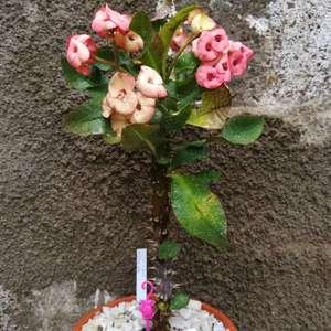 I Nuevo agregado un Euphorbia milii hybrid en mi jardín
