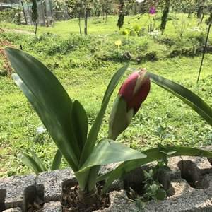 最近是孤挺花的季節阿,養在山上適應的很好