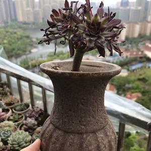 红腹轮锦200411(10.5)多肉植物