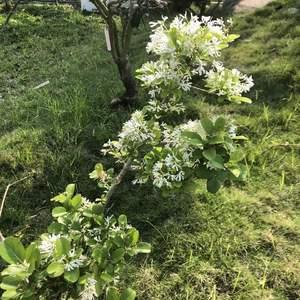 今天上山最最最驚喜的就是流蘇盛開,流蘇之前看過是幼年期就會開花開很好的花,果然如此。 剛過去的這個冬天乾旱又熱,流蘇冬天是休眠期,那時葉子幾乎掉光,頂芽看起來也都狀況很差,擔心的不得了阿!