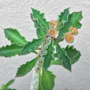 """我新添加了一棵""""Euphorbia cap-saintemariensis 开塞恩坦马里大戟""""到我的""""花园"""""""