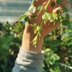玛姬婶婶的强笋已经挂满了花苞,整棵有十七个花苞,所有月季都还在发新芽,下周末就全天零下了,持续很久,虽然封闭阳台温度高一些但也不知道会不会有影响