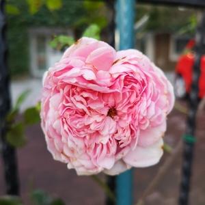 秋深天凉,等大儿上车的空当里转了转。院栅栏上零星开着十数朵爬藤月季,地栽的菊长得茂盛,入眼是满满的花骨朵,遂心生欢喜,花草果然是怡人性情的。
