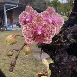 媽媽的蝴蝶蘭愈長愈好了