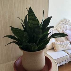 养花千日,用花一时,今天把这盆虎皮兰拿到新房这,不知道能不能吸甲醛。