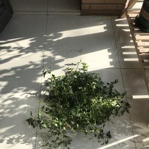 耐寒冠军小木槿最近也撑不住打蔫儿了……今日重剪过冬,搬到少暖和的下层,希望扛得住!