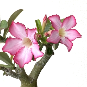 Adenium Obesum (Desert Rose)