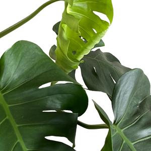 Leaf opening up.