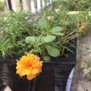 今年的太阳花太不给力了,仅有的花🙈
