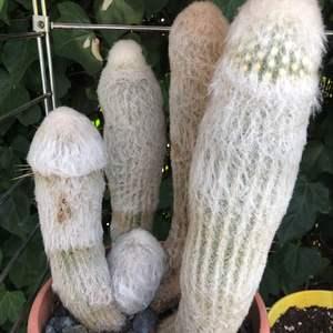 I Nuevo agregado un Cactus Abuelo en mi jardín