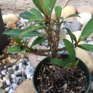 多肉·铁海棠·黄 Yellow Crown of Thorns