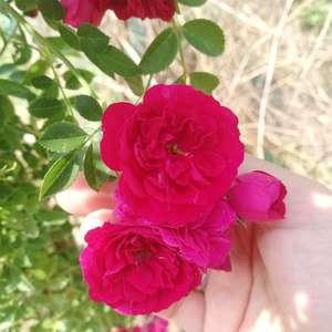 """我新添加了一棵""""蔷薇科""""到我的""""花园"""""""