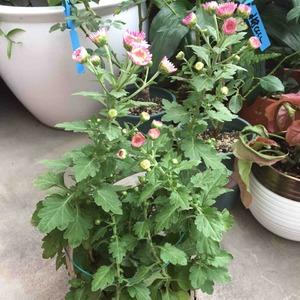 草莓心这个小可爱又复花了,算算来家里有两年了,已经是妈妈级别呢~期间修剪几次,繁殖了两三盆