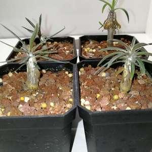 Pachypodium rosulatum 象牙宫