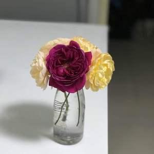 4朵花后修剪✂️ 误入一朵皇家胭脂~哈哈