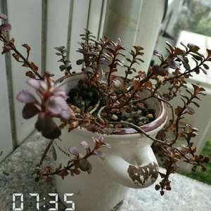 0小球玫瑰