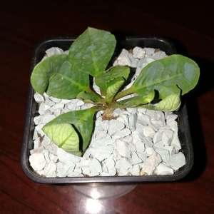 """我新添加了一棵""""Euphorbia primulifolia 樱花大戟""""到我的""""花园"""""""