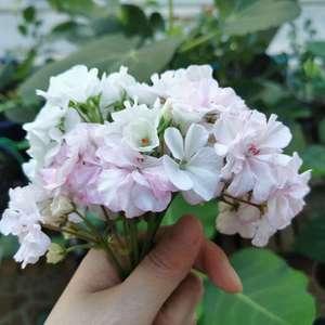 以为天竺葵要休眠了就把她们移到了阴凉处(其实也是私心给月季腾地😂),但是一直还在零零散散的开花,而且阴凉处开的粉色更嫩