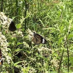 一欉高士佛澤蘭就可以吸引好多好多蝴蝶阿