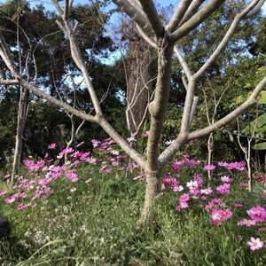 爸媽友人去農會領回的波斯菊種子,每次看到這花都不禁想著:真是一年容易又秋風