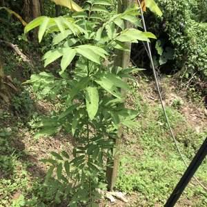 這是無患子實生苗地植長最快的一株,不懂為什麼同一批種子、類似的環境會有這麼大的差異,這棵已近160公分,另一棵在不遠處大概一百公分不到,