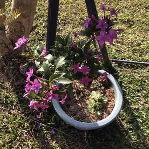 之前種在家裡的紫雲杜鵑,雖然都有開花,但搬到山上全日照(略遮蔭)並換了大盆後,花開的更盛了