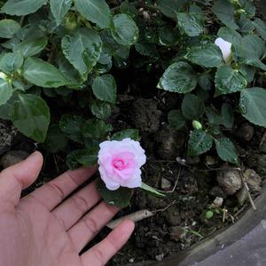 20-10-9号一个的凤仙  甜蜜公主 好美粉嫩嫩的  已经掐了朵下来玩了  嘿嘿嘿