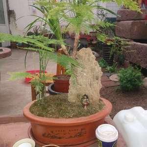 """我新添加了一棵""""茶盘文竹""""到我的""""花园"""""""
