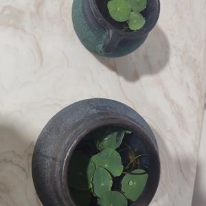 哈哈哈哈插花的陶瓷瓶用来装碗莲了 感觉有点复古有点诗意