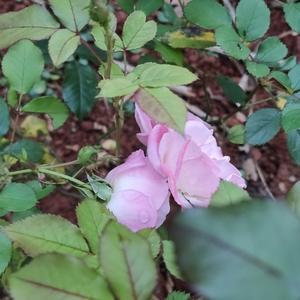 本来掐掉了很多花头,好让它生长。藤本霞樱硬是固执地开了很多朵……那……就开吧~