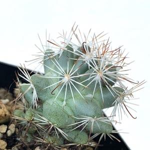 Mammillaria Schumannii