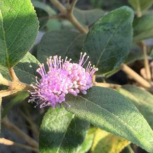 紫珠花也愈開愈多了,接下來就是期待結亮晶晶的紫珠了,據自然科學博物館的網站資料顯示:果實可作誘鳥用,會吸引畫眉科、鵯科、五色鳥、樹鵲及綠繡眼等鳥類!