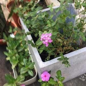 馬櫻丹開花了, 這是渡過適應期了嗎?