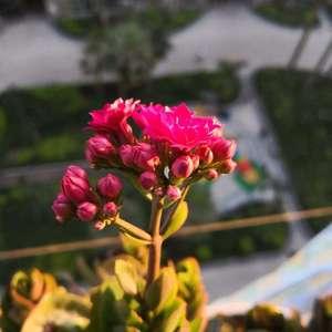 不明白那种又大几肥的叶子是怎么养出来的。不过能开花,已知足,自得其乐。🌷🌷🌷
