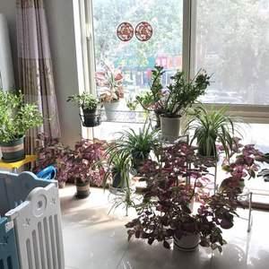 花了好大力气把客厅重新整理了一下,南窗前多了些地方,花花们终于不那么局促了,新搬进来了蓝雪花~