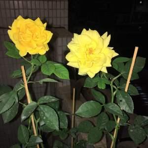 012.玫瑰