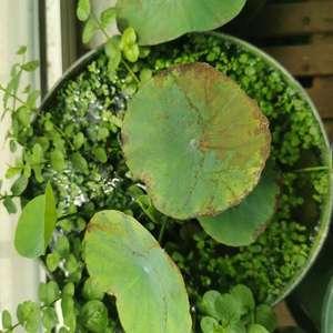 碗莲一直焦边黑叶子,不知道是打药的关系还是肥多了,叶子也越来越小
