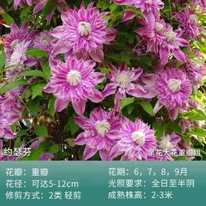 铁线莲新入品种,藤本皇后美誉的花,希望我能养好哟。