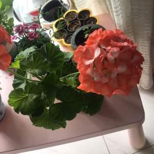 天竺葵  橙色