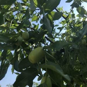 枝条茂盛了很多,不过今年结的果子很少