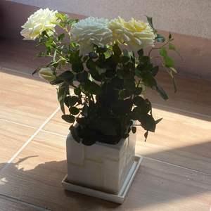 """제가 새로운 식물 """"Rosa hybrida""""한 그루를 나의 """"화원""""에 옴겼어요."""